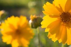Yellow daisy Royalty Free Stock Photos