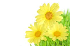 Yellow daisy close-up isolated Royalty Free Stock Image