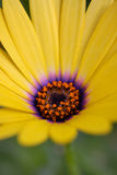 Yellow daisy Stock Photography