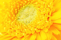 Yellow daisy close up Royalty Free Stock Photos