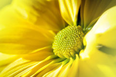 Yellow Daisy closeup Stock Photos