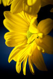Yellow Daisy closeup Royalty Free Stock Images
