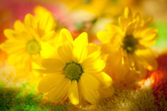 Yellow Daisy closeup Stock Images