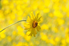 Yellow Daisy Closeup Royalty Free Stock Photos