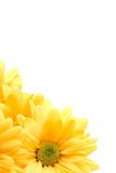 Yellow daisy corner Royalty Free Stock Images