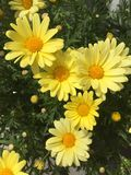 Yellow daisy daisies pattern bouquet marigold gold flowers Stock Image