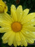 Yellow daisy with drops Royalty Free Stock Image