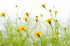 Yellow Daisy field Royalty Free Stock Photos