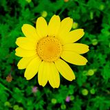 Yellow Daisy on field royalty free stock images