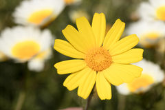 Yellow daisy. On field full of flowers as a background stock photography