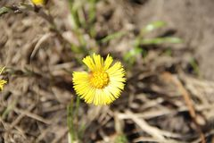 Yellow daisy - the first spring flower royalty free stock image