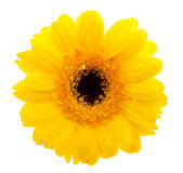 Yellow Daisy flower stock photography
