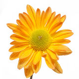 Yellow daisy flower Stock Photography
