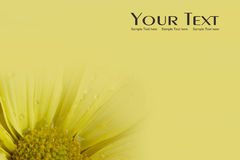 Yellow Daisy flower background Royalty Free Stock Photography