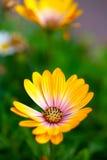 Yellow Daisy Flower Royalty Free Stock Photo