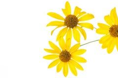 Yellow daisy flower Stock Photos