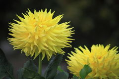 Yellow Dahlia Flower. Blooming in Fall Stock Images