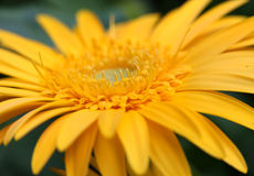 Yellow daisy flower Stock Image