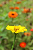 A yellow daisy flower. Royalty Free Stock Image