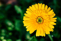 Yellow daisy flower closeup, natural background. Royalty Free Stock Photos