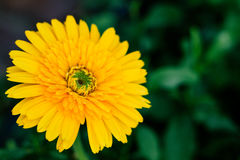 Yellow daisy flower closeup, natural background. Stock Photography