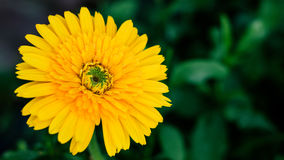 Yellow daisy flower closeup, natural background. Stock Photo