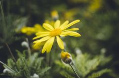 Yellow Daisy Flower in Closeup Photography Stock Images