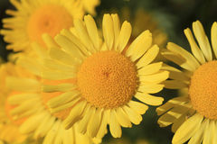 Yellow Daisy Royalty Free Stock Photography