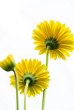 Yellow Daisy Flower Facing Up on White Background royalty free stock image