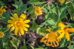 Yellow daisy flower. Yellow flowers , yellow flowers and green background , Mexican sunflower Stock Photos