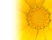 Yellow Daisy Flower with Gradient to White Royalty Free Stock Photography