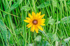 Yellow daisy flower, green grass, gerbera  garden, close up Royalty Free Stock Image