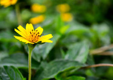 Yellow daisy flower on green leaf background Royalty Free Stock Photo