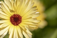 A yellow daisy flower royalty free stock photo