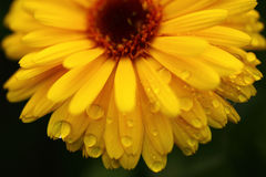 Yellow daisy flower isolated with water drop. Close up Royalty Free Stock Photos