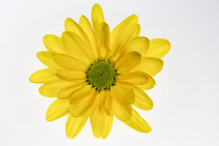 Yellow daisy flower with green center isolated stock image image yellow daisy flower isolated on white background royalty free stock photos mightylinksfo