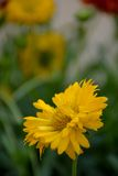 Yellow daisy flower. A yellow daisy flower, perfect for wallpaper, greetings, wood print Royalty Free Stock Photo