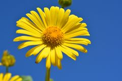 Yellow daisy flower low angle view under a blue sky in a field royalty free stock photo