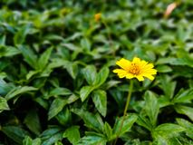 Yellow daisy flower outstanding among green leaves of a bush.  stock image