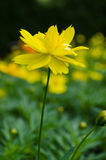 Yellow daisy flower. Yellow spring flowers with green leaf stock photo