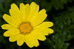 Yellow daisy with dew drops. A yellow daisy flower taken early in the morning with dew drops on the petals Royalty Free Stock Photo