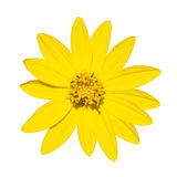Yellow daisy flower top view in green environment Royalty Free Stock Photo