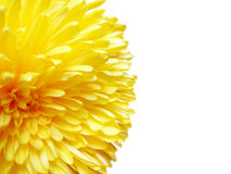Yellow daisy flower Stock Photo