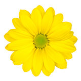 Yellow Daisy Flower With Green Center Isolated Stock Image