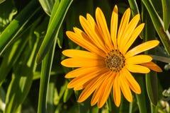Yellow daisy flowerhead. Closeup of yellow daisy flowerhead Royalty Free Stock Photography