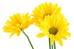 Yellow daisy flowers. Beautiful yellow daisy flowers on white background Royalty Free Stock Photo