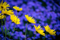 Yellow daisy flowers with background of blue aster. Yellow daisy flowers with background of purple blue aster flowerbed, empty space for text Stock Photos