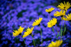 Yellow daisy flowers on background of purple blue aster. Flowerbed Royalty Free Stock Photography