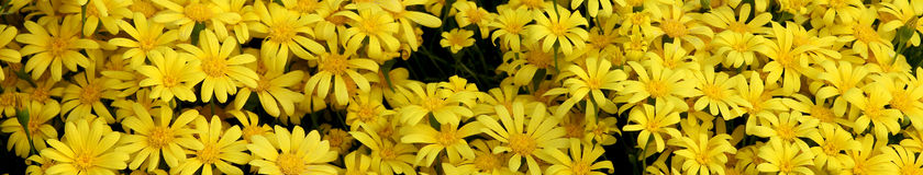 Yellow daisy flowers banner Royalty Free Stock Photos