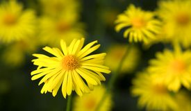 Yellow daisy flowers in bloom Stock Photos
